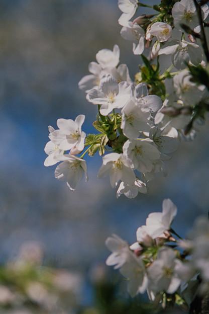 新宿御苑【サクラ:大島桜】8銀塩