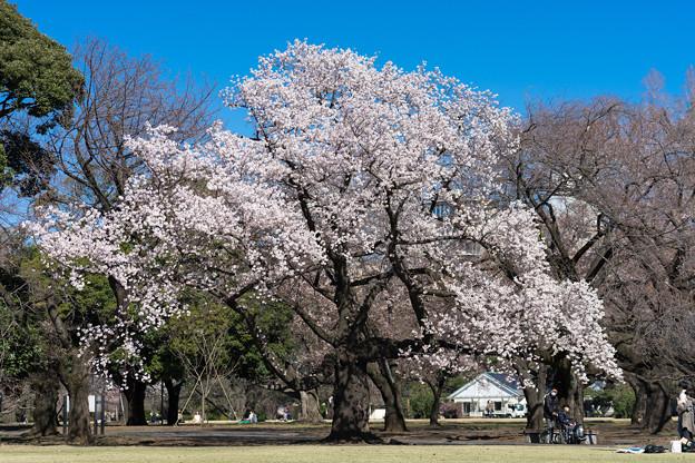 新宿御苑【サクラ:大樹白桜】1