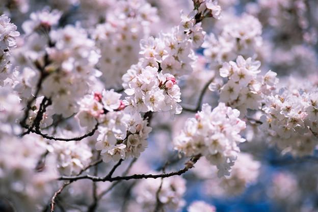 新宿御苑【サクラ:大樹白桜】2銀塩
