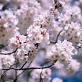 Photos: 新宿御苑【サクラ:大樹白桜】2銀塩