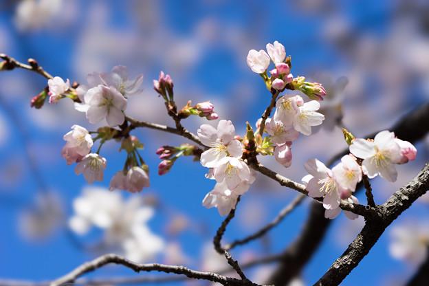 新宿御苑【サクラ:大樹白桜】3
