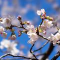 Photos: 新宿御苑【サクラ:大樹白桜】3