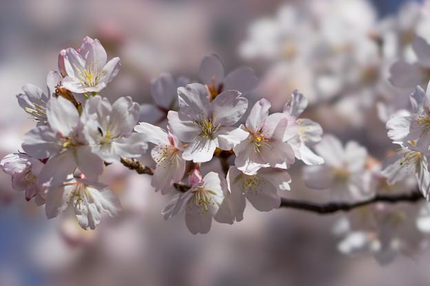 新宿御苑【サクラ:大樹白桜】4