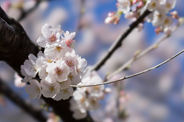新宿御苑【サクラ:大樹白桜】5