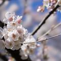 Photos: 新宿御苑【サクラ:大樹白桜】5