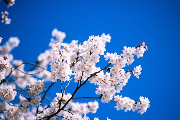 新宿御苑【サクラ:大樹白桜】6銀塩