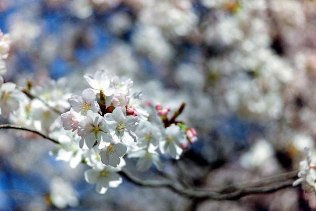 新宿御苑【サクラ:大樹白桜】7銀塩