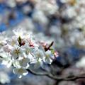 Photos: 新宿御苑【サクラ:大樹白桜】7銀塩