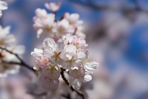 新宿御苑【サクラ:大樹白桜】8
