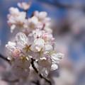 Photos: 新宿御苑【サクラ:大樹白桜】8