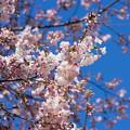 Photos: 新宿御苑【サクラ:アメリカ】1