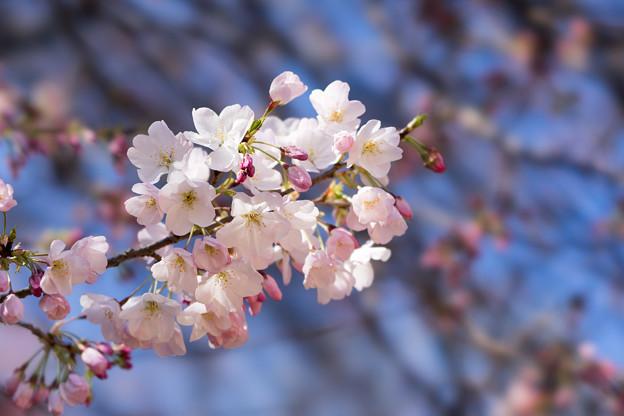 Photos: 新宿御苑【サクラ:アメリカ】3