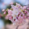 Photos: 新宿御苑【サクラ:アメリカ】5