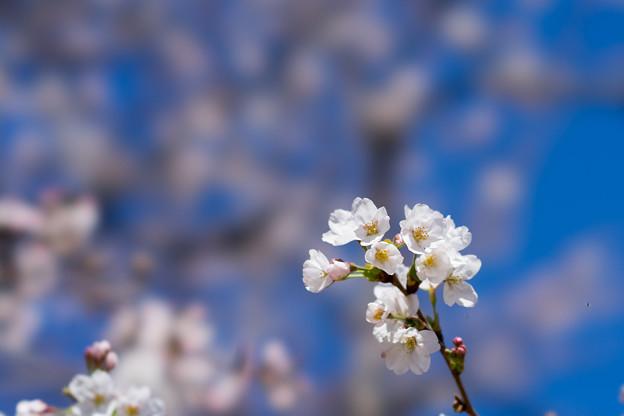 新宿御苑【サクラ:染井吉野】2