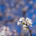 Photos: 新宿御苑【サクラ:染井吉野】2