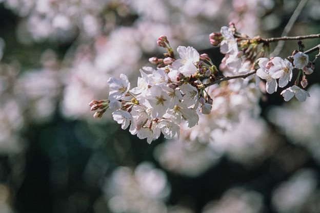 新宿御苑【サクラ:染井吉野】3銀塩
