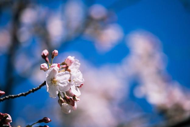 新宿御苑【サクラ:染井吉野】4銀塩