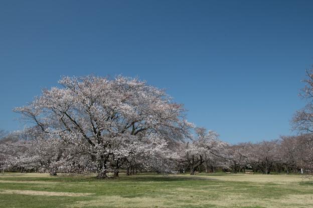 昭和記念公園【桜の園の眺め】1