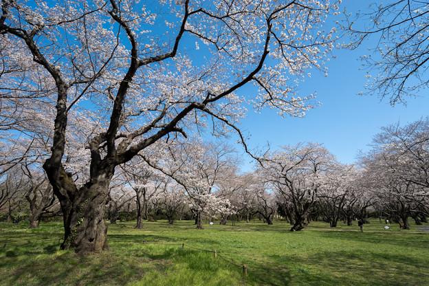 昭和記念公園【桜の園の眺め】3