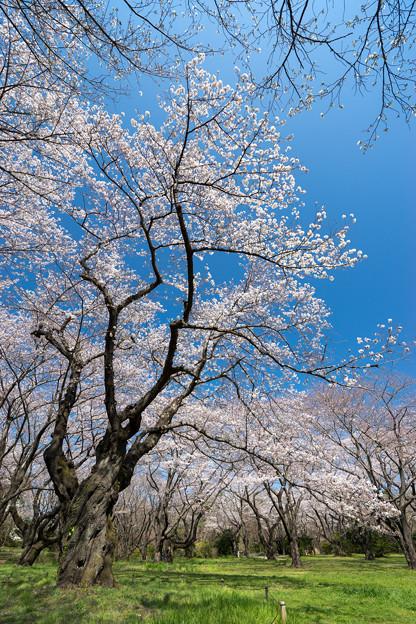 昭和記念公園【桜の園の眺め】4