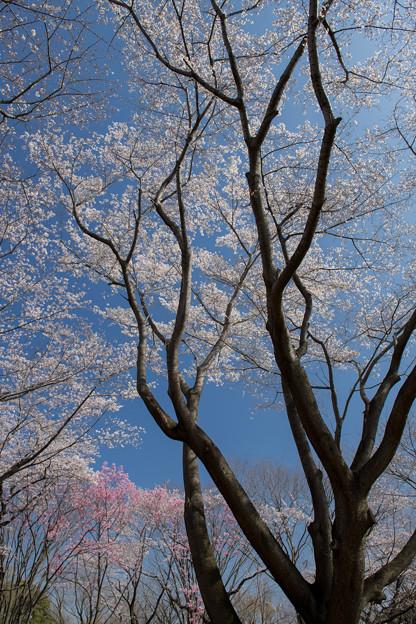 昭和記念公園【桜の園の眺め】5