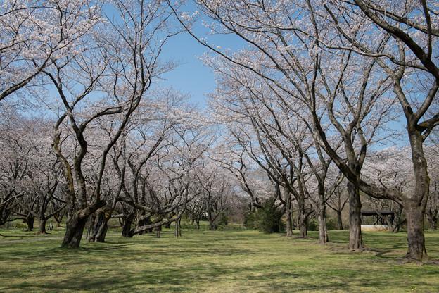 昭和記念公園【桜の園の眺め】6