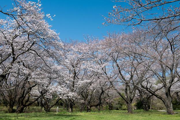 昭和記念公園【桜の園の眺め】7