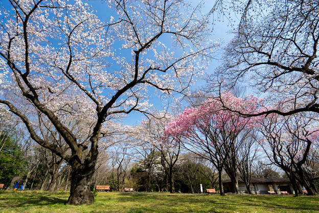 昭和記念公園【桜の園の眺め】8