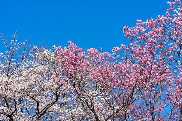 昭和記念公園【桜の園のサクラのアップ】1