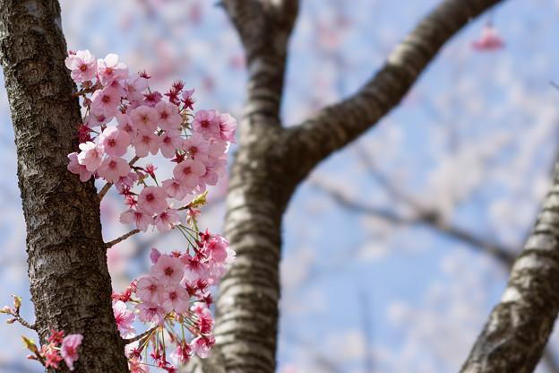 昭和記念公園【桜の園のサクラのアップ】3
