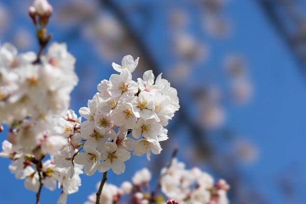 昭和記念公園【桜の園のサクラのアップ】4
