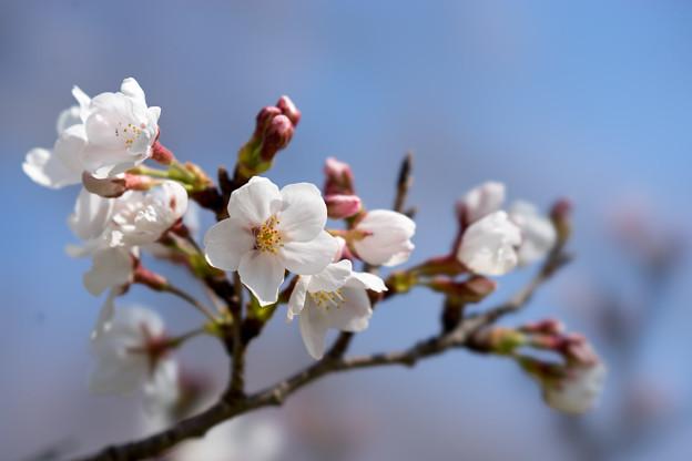 昭和記念公園【桜の園のサクラのアップ】5