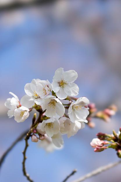 昭和記念公園【桜の園のサクラのアップ】6