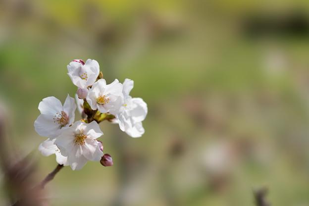 昭和記念公園【桜の園のサクラのアップ】7