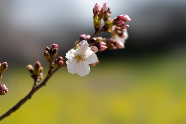 昭和記念公園【桜の園のサクラのアップ】8