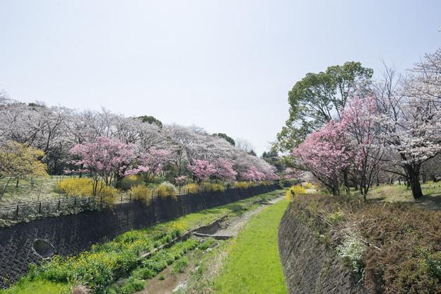 昭和記念公園【朝掘川:さくら橋からの眺め】