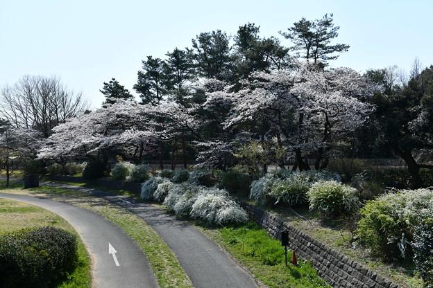 昭和記念公園【朝掘川:もみじ橋近辺の桜】