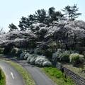 Photos: 昭和記念公園【朝掘川:もみじ橋近辺の桜】