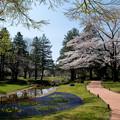 Photos: 昭和記念公園【渓流広場の一本桜】1