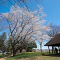 昭和記念公園【渓流広場の一本桜】2
