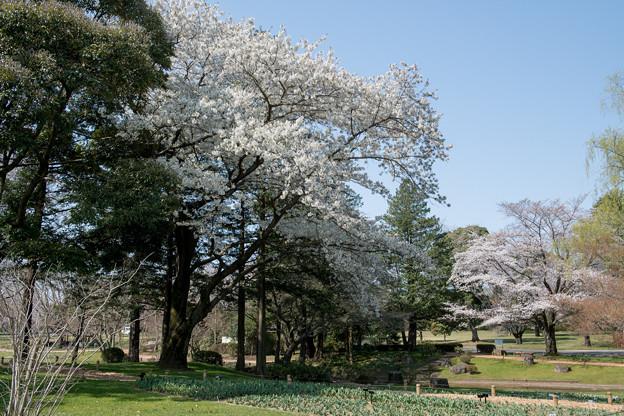 昭和記念公園【渓流広場の一本桜】3