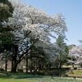 Photos: 昭和記念公園【渓流広場の一本桜】3