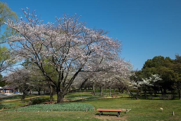 昭和記念公園【渓流広場の一本桜】4
