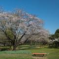 Photos: 昭和記念公園【渓流広場の一本桜】4