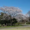 昭和記念公園【渓流広場の一本桜】5