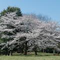 昭和記念公園【渓流広場の一本桜】6