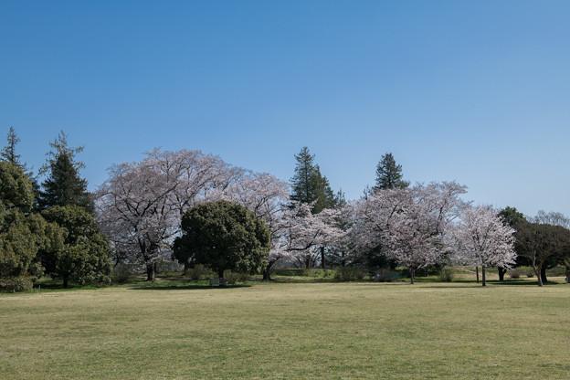 昭和記念公園【ふれあい広場の桜】