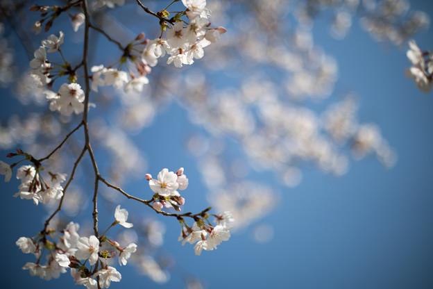 昭和記念公園【ふれあい広場:サクラのアップ】1