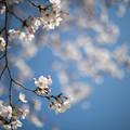 Photos: 昭和記念公園【ふれあい広場:サクラのアップ】1