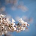 Photos: 昭和記念公園【ふれあい広場:サクラのアップ】2